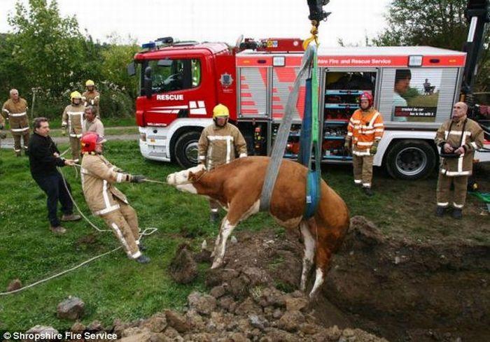 Rescuing a calf (4 pics)