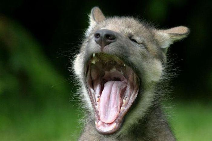 Yawning Animals. Part 2 (38 pics)