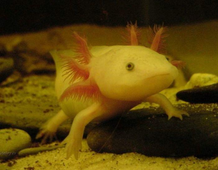 Axolotl. Smiling pets :) (44 pics)