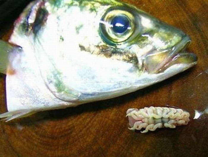 Cymothoa exigua - weird parasite (16 pics)