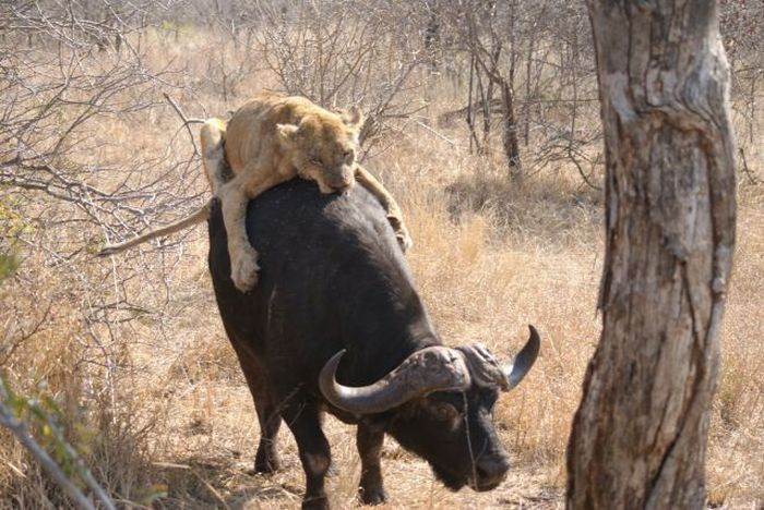 Lioness tries to eat a buffalo (26 pics)
