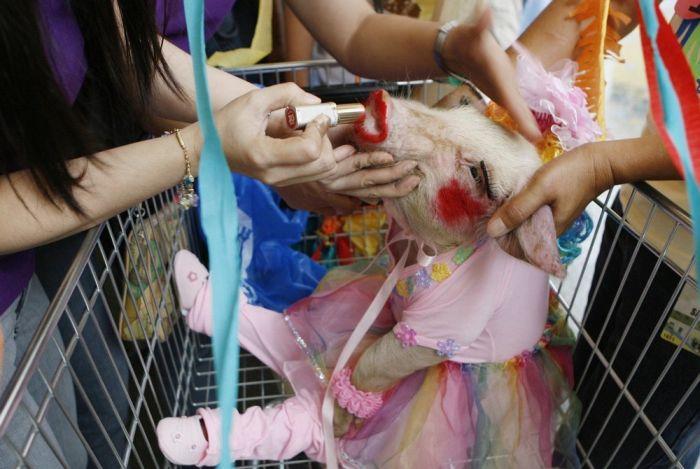 Pig Costume Festival in Philippines (7 pics)