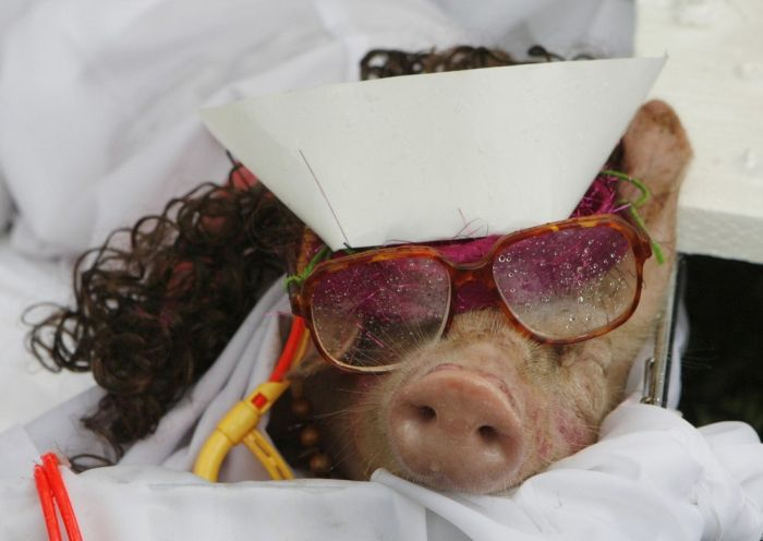 Pig Costume Festival in Philippines (7 pics)