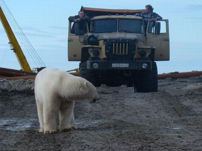 Polar bears visited a construction site (18 pics)