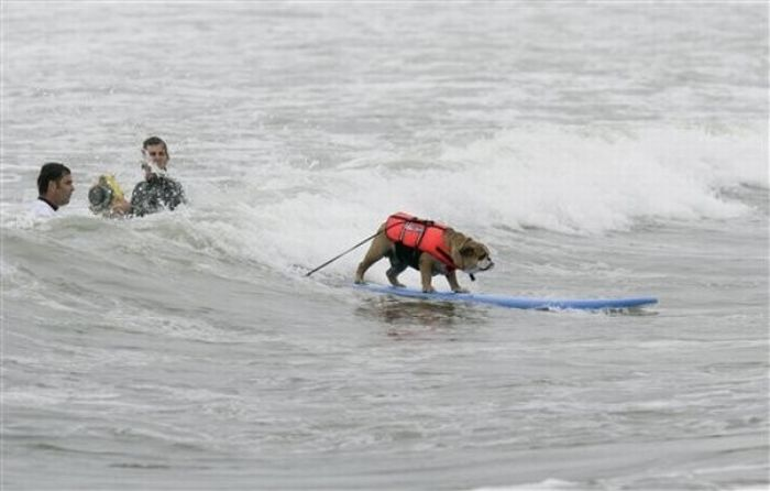 Surfing Dogs (17 pics)