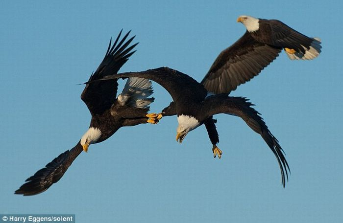 Three eagles struggling for food (3 pics)