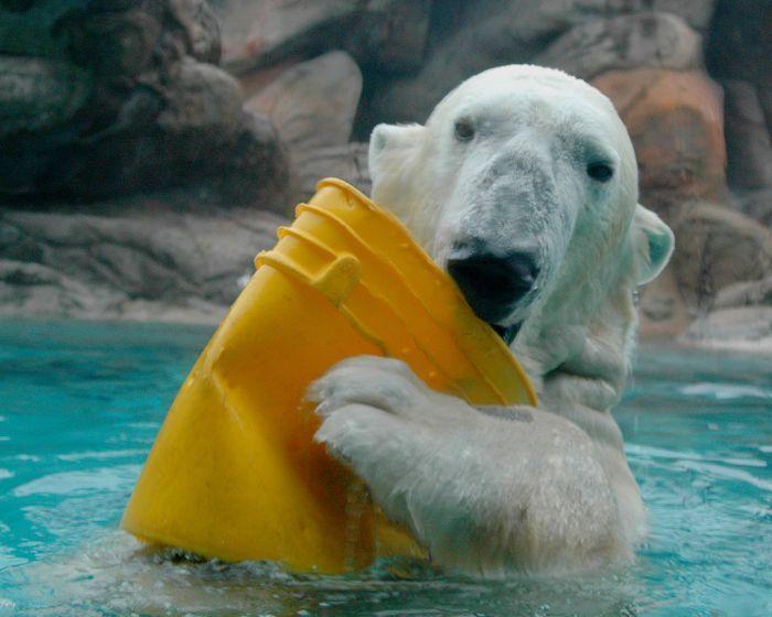 Playing Polar Bears (18 pics)