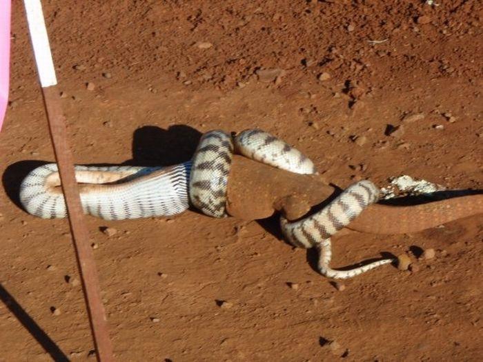 Snake Eats A Giant Lizard (13 pics)