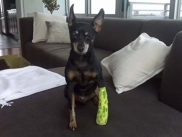 Animals With Casts (53 pics)