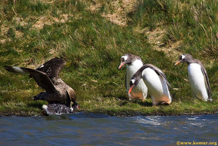 Skua attacks Little Penguin (22 pics)