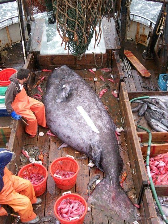 Fishermen caught a monster (3 pics)