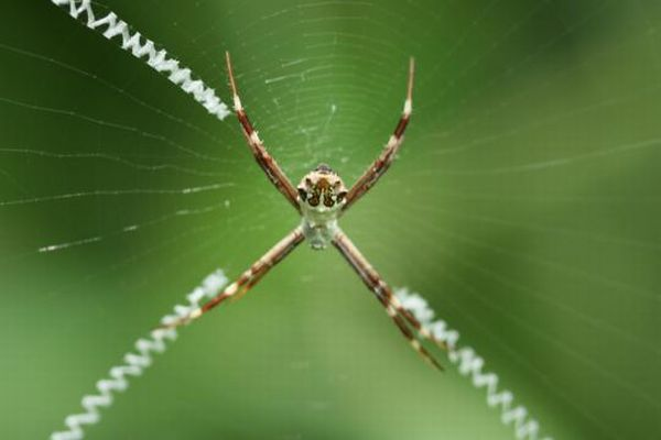 The Spiders That Decorate Their Own Webs (15 pics)