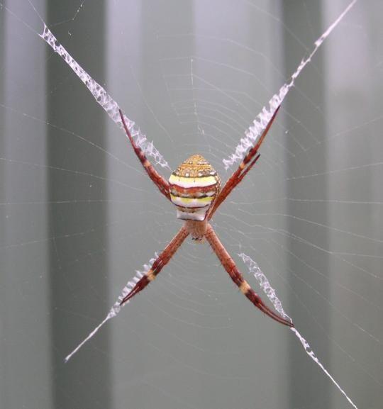 Svijet paukova Spider_webs_15