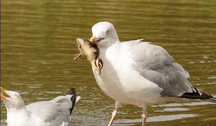 Poor Duckling (3 pics)