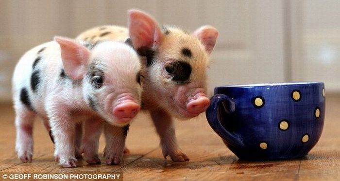 Micropig - the cutest pet in the world (8 pics)
