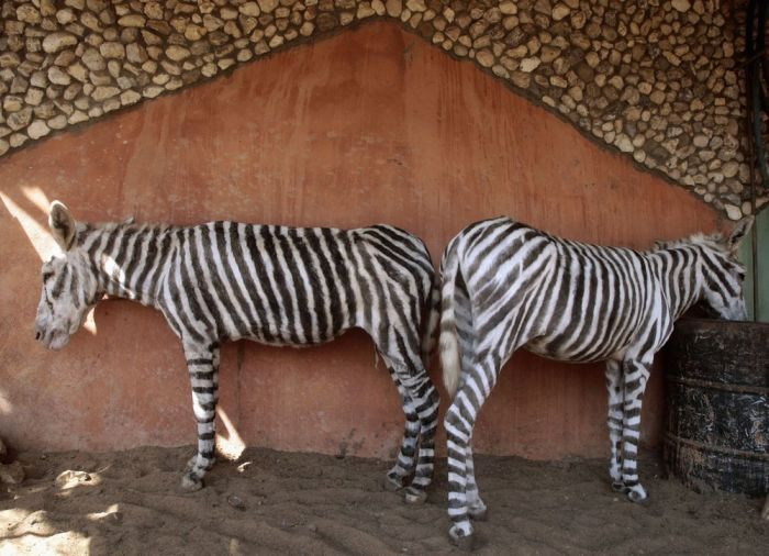 Donkeys Painted As Zebras In Gaza Zoo (4 pics)