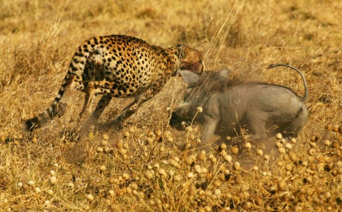 A mother warthog attacked two male cheetahs (4 pics)
