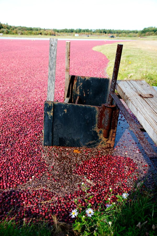 Cranberry harvest in New England (15 pics)
