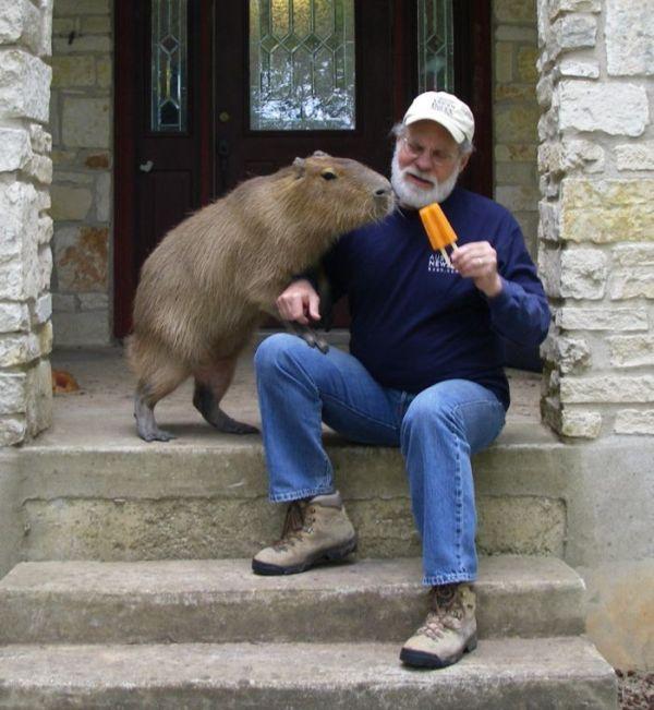 The World Famous Capybara Caplin (72 pics)