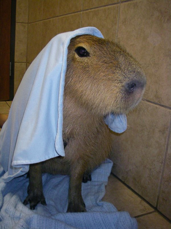 The World Famous Capybara Caplin (72 pics)