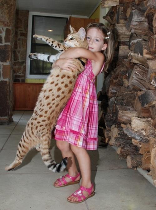 Savannah Cat Magic - The Tallest Cat In The World (12 pics + video)