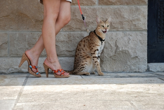 Savannah Cat Magic - The Tallest Cat In The World (12 pics + video)