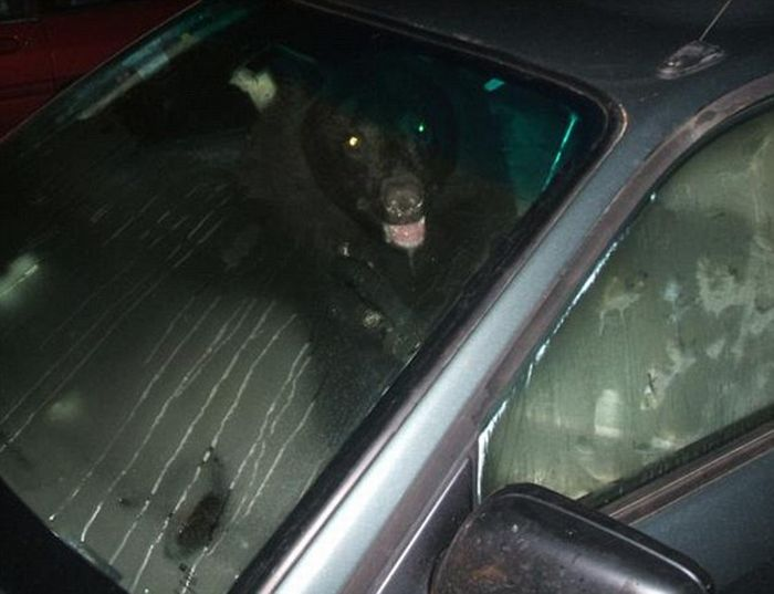 There Is A Bear In My Car (3 pics)