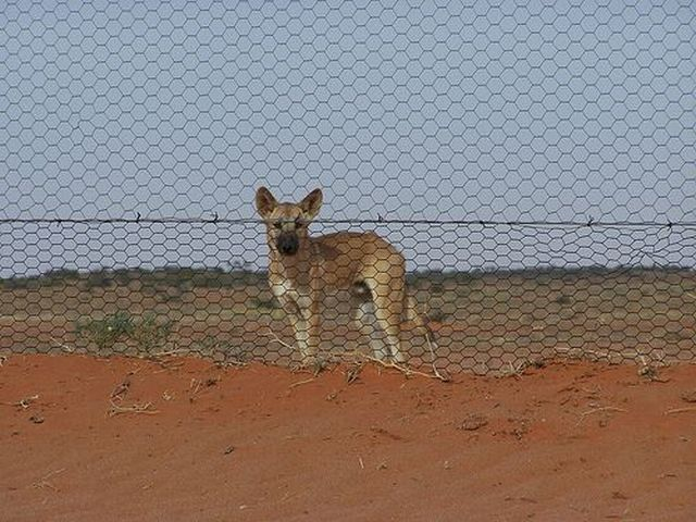 Australian Dingo Fence 12 Pics