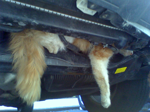 Saving A Cat Stuck in Nissan Murano (3 pics)