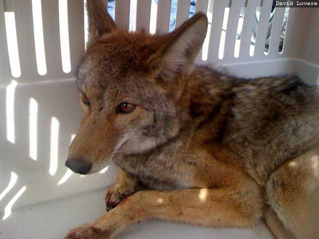 Miracle Survival Of Coyote (6 pics)