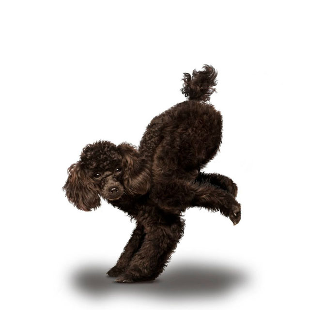 Yoga Dogs. Funny Calendar (14 pics)