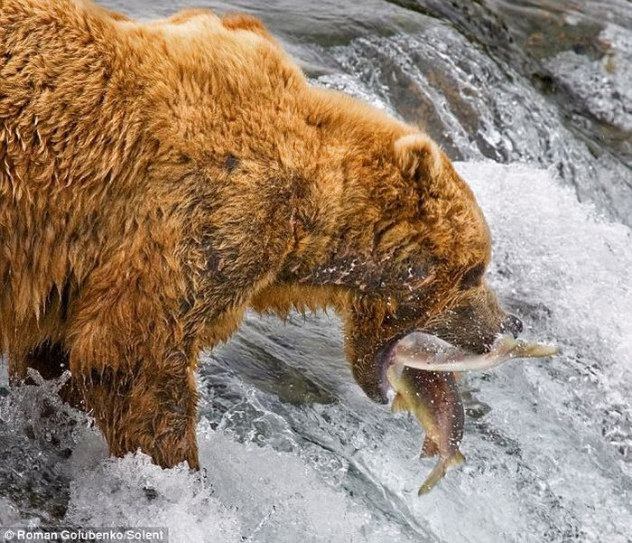 Amazing. Mother Bear Shows the Cubs How to Catch Fish (4 pics)
