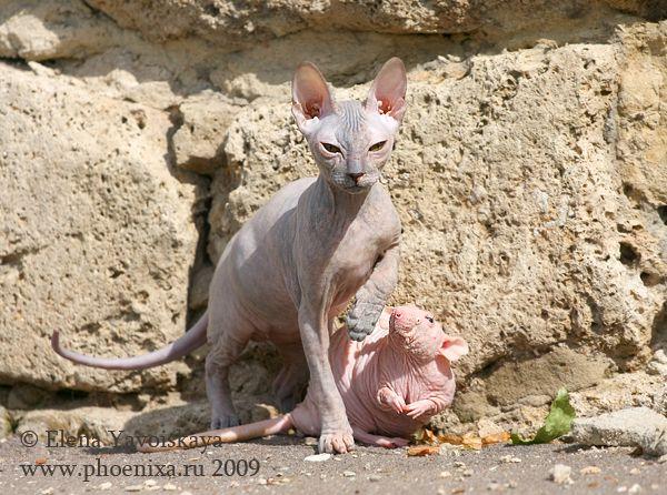 Bald Cat Meets a Bald Rat (7 pics)