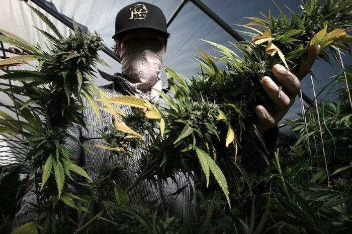 The Marijuana Harvest (23 pics)