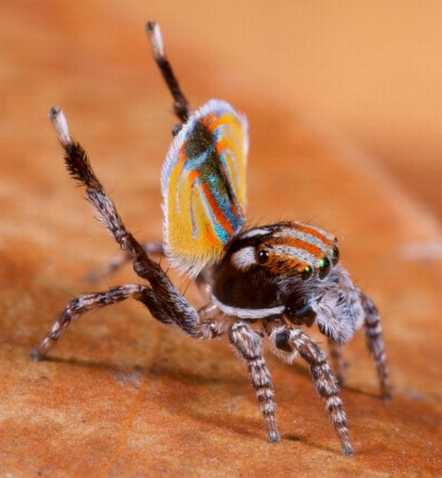 Peacock Spider (4 pics)