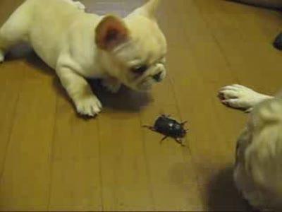 Puppies vs Giant Beetle. Funny!