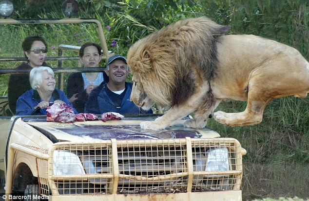 A Lion Jumps on the Jeep but nobody is scared. Why? (6 pics)