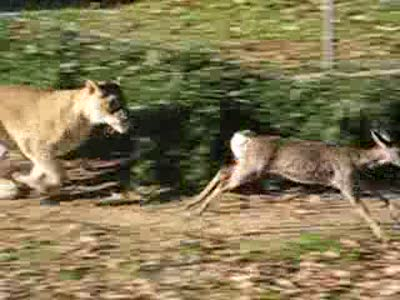 Baby Deer Escapes Lions