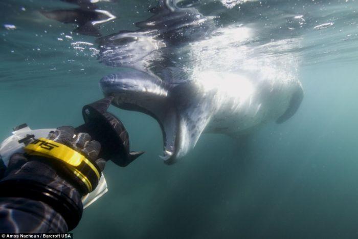 Hunting Leopard Seals (15 pics)