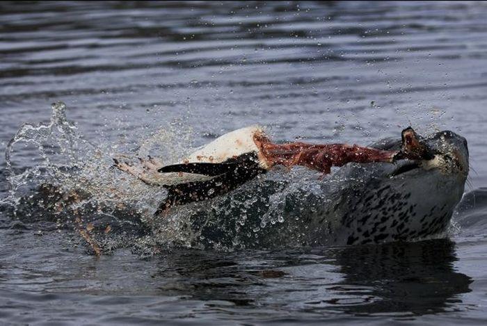 [Image: hunting_leopard_seals_12.jpg]