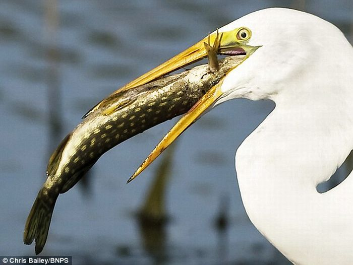 Stupid Fish Jumps Straight in a Heron's Mouth (3 pics)