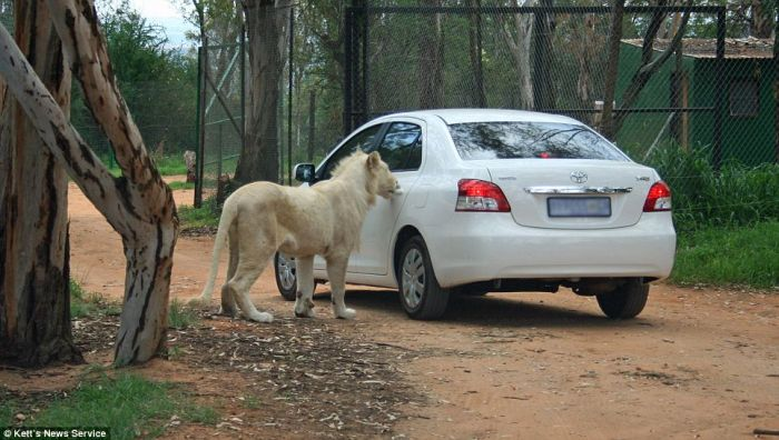 Lion Opens the Door of Toyota (5 pics)