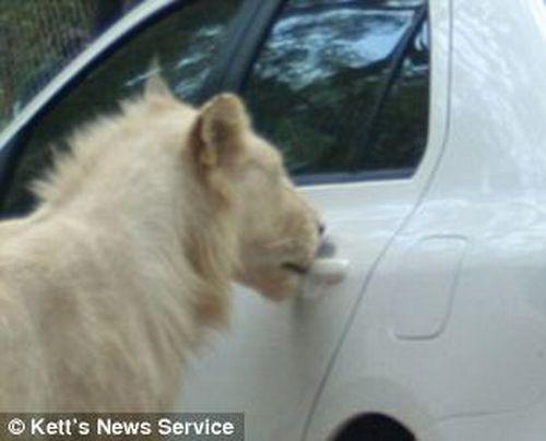 Lion Opens the Door of Toyota (5 pics)