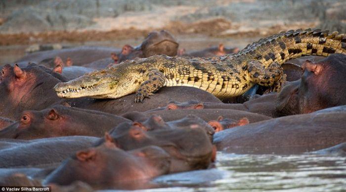 Rare Battle. Crocodile Was Killed by Hippos (5 pics)