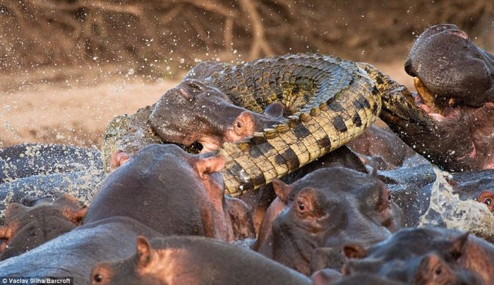 Rare Battle. Crocodile Was Killed by Hippos (5 pics)