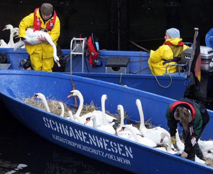 Evacuation of Swans (5 pics)