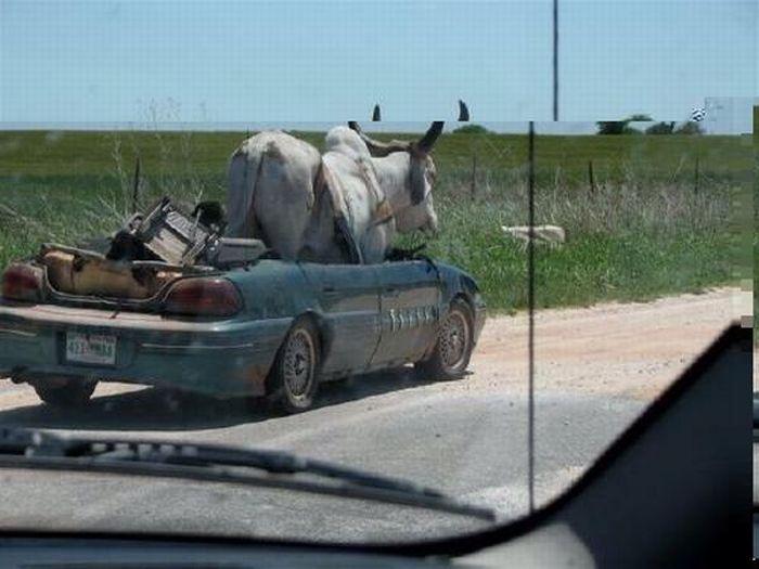Bull Transportaition (8 pics)