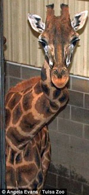 Giraffe with a crick in her neck (4 pics + video)
