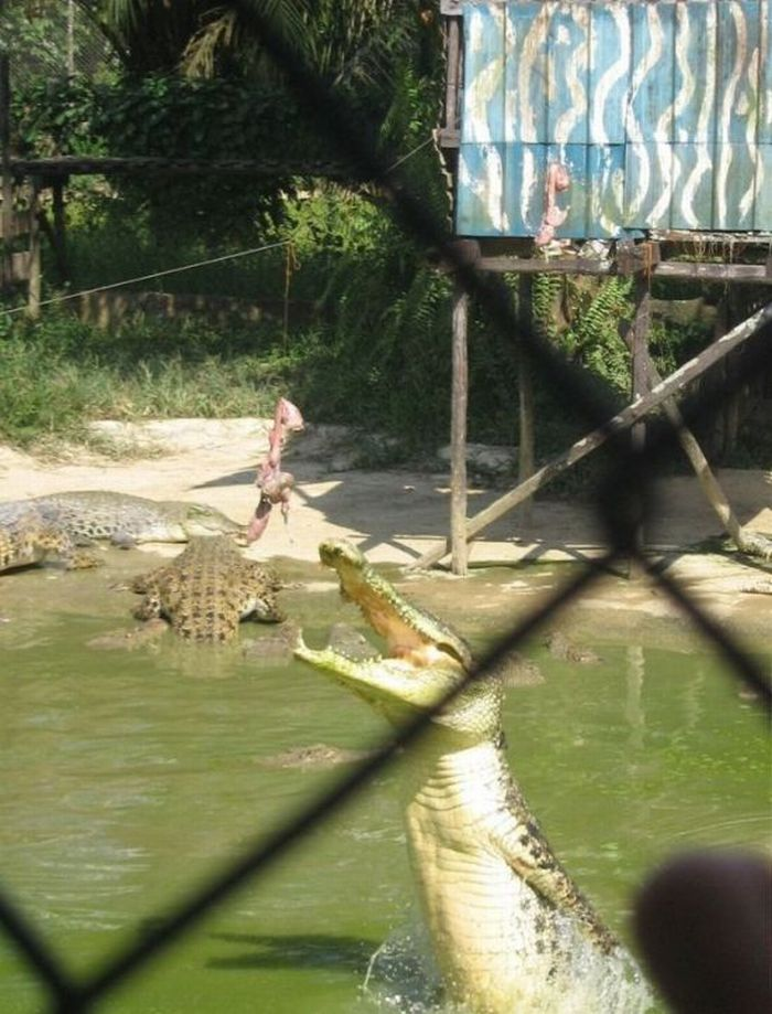 How to Feed Crocodiles (28 pics)