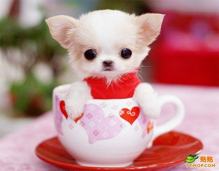 Tiny Dogs in Cups (8 pics)